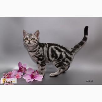 Котенок девочка. Американская короткошерстная