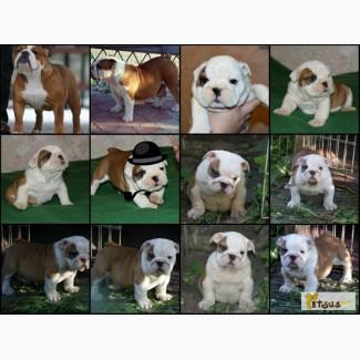 Продам щенков Английского Бульдога с Шоу-потенциалом