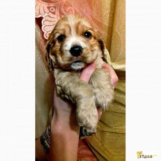 Продам щенка американского кокера спаниеля