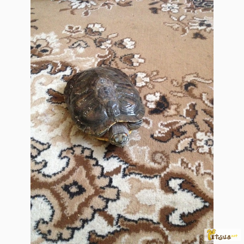 Фото 1/2. Продам червоновуху черепаху