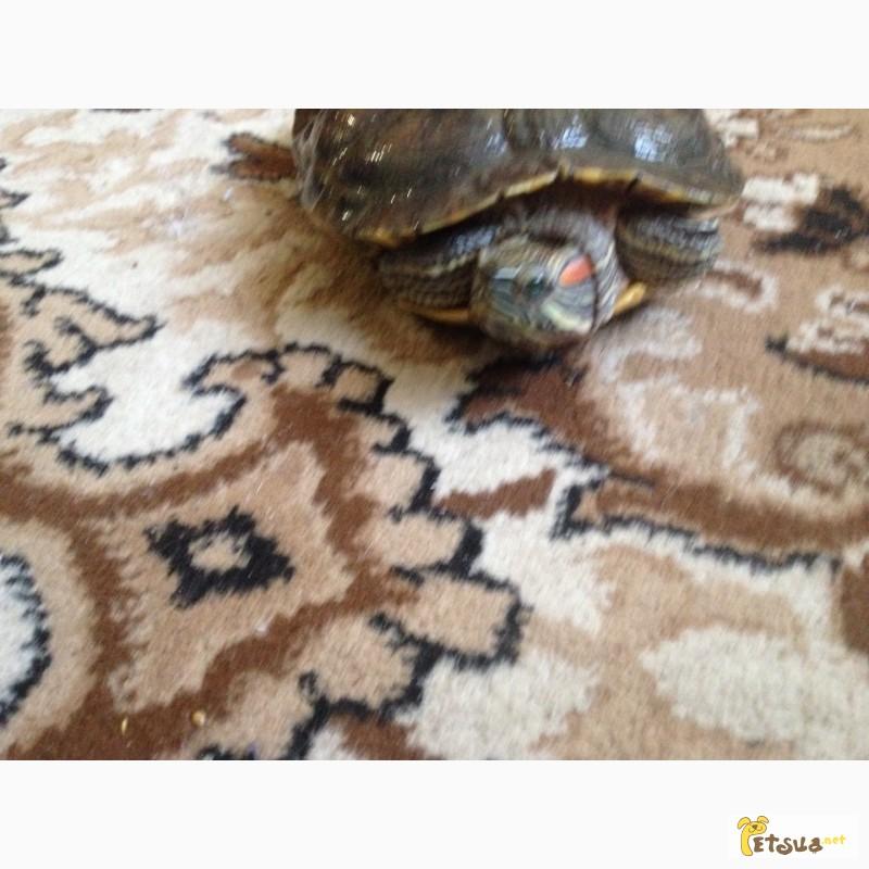 Фото 2/2. Продам червоновуху черепаху
