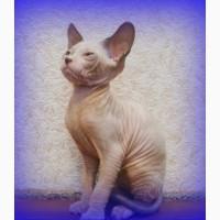 Питомник предлагает котят донского сфинкса WCF