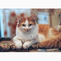 Нарядная нежная Варя, молодая персиковая кошечка в добрые руки