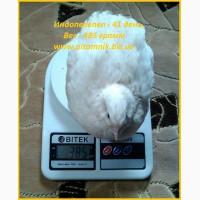 Индоперепела яйца инкубационные