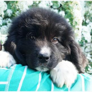Продается щенок ньюфаундленда