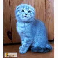 Нежная и ласковая шотландская вислоухая кошечка Амели, 2 мес, очень милая