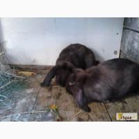 Продам кроликов породы французский баран ( гавана)