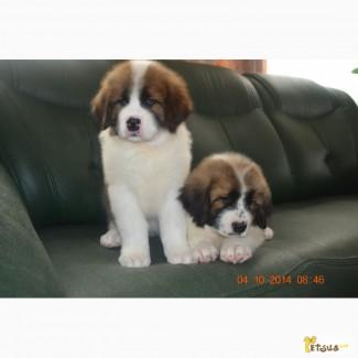 Продам щенков московской сторожевой