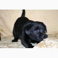 Лабрадор ретривер щенки клубные, чёрного и шоколадного окраса