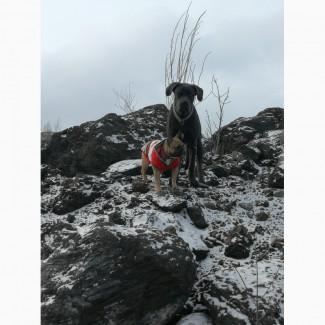 Продается подрощеный щенок Кане Корсо
