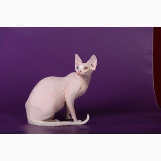 Волшебный котёнок Эльф, бамбино, сфинкс
