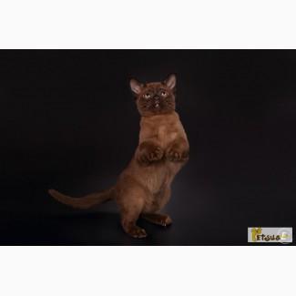 Бурманский котенок соболиного окраса, кошечка