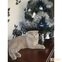 Шотландский вислоухий котик ищет Симпатичную кошечку !!!