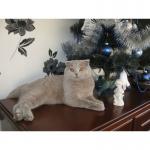 Шотландский вислоухий котик ищет Симпатичную кошечку