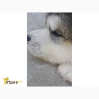 Прекрасные щенки Аляскинского маламута