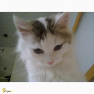 Турецкий Ван, сибирский кот ( котята)