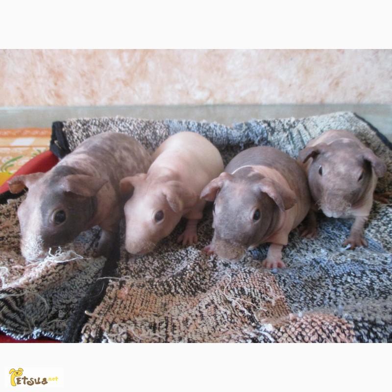 Фото 2/3. Продаю элитную морскую свинку скинни