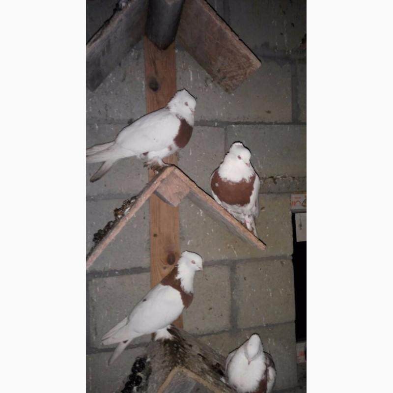 Фото 1/5. Бойные голуби (иранцы, андижаны, касаны)