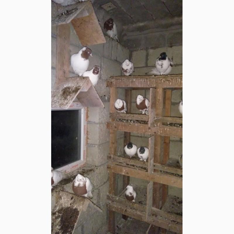 Фото 3/5. Бойные голуби (иранцы, андижаны, касаны)