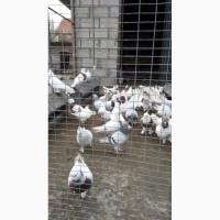 Бойные голуби (иранцы, андижаны, касаны)
