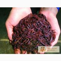 Калифорнийский червь производитель биогумуса, отличный корм для домашней птицы,