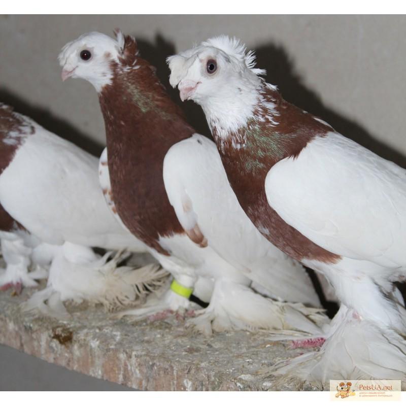 фото цены на голубей