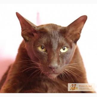 Породистый кот – ГАВАНА отдается в хорошие руки!