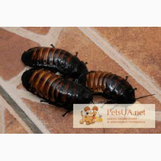 Продам мадагаскарских тараканов