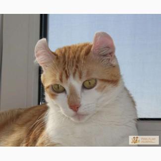 Американский керл - кошка с человеческим лицом