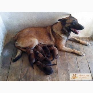 Собака бельгийская овчарка (малинуа)