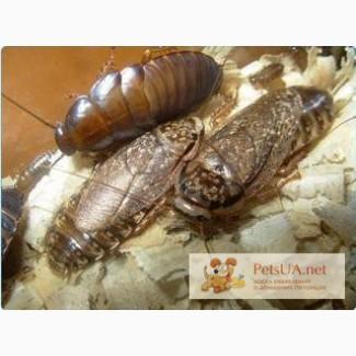 Продам кормовых мраморных тараканов