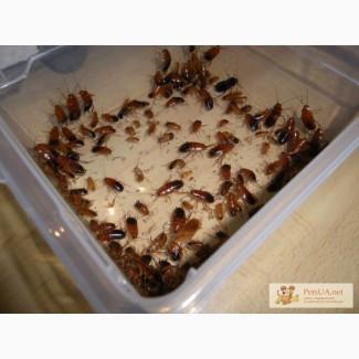 Тараканы Eublaberus posticus и туркменский таракан