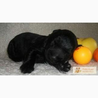 Роскошные щенки черного терьера-украшение вашего дома!!!