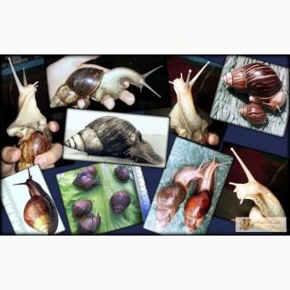 АХИТИНЫ - африканские улитки для души, здоровья, от морщин и прищей