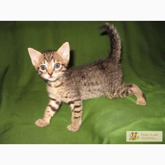 Пятнистые котята редкой породы - оцикет, продажа - резервирование