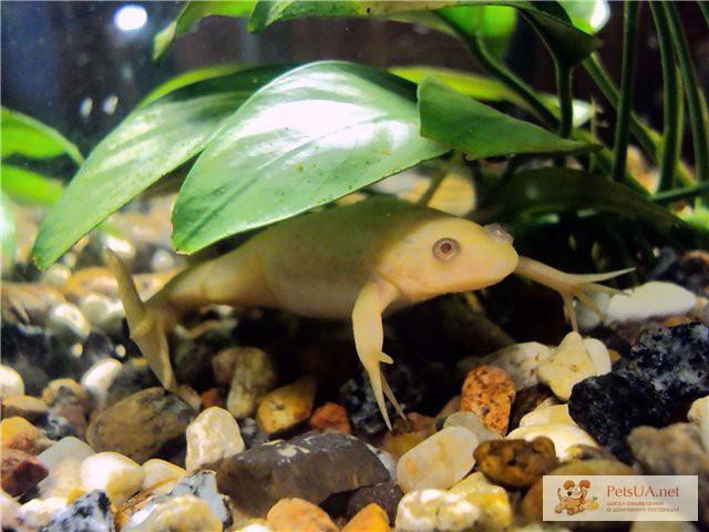 Фото 1/2. Шпорцевые лягушки: белые, желтые, серые! Доставка по Киеву!