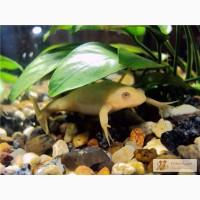 Шпорцевые лягушки: белые, желтые, серые! Доставка по Киеву!