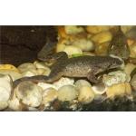 Шпорцевые лягушки: белые, желтые, серые! Доставка по Киеву