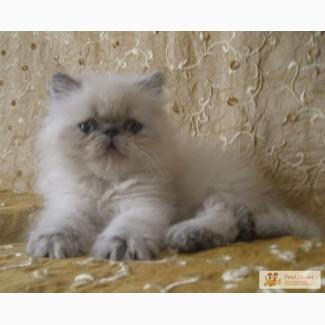 Гималайская персидская кошечка