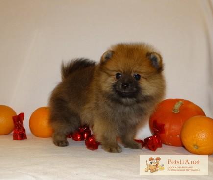 Фото 2. Шпиц померанский щенок медвежонок