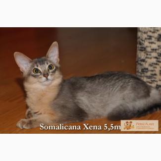 Голубая сомалийская кошечка – песцовая шубка!