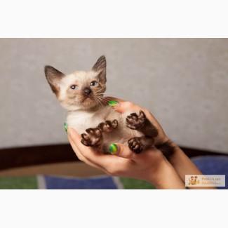 Продам котенка меконгского ботейла