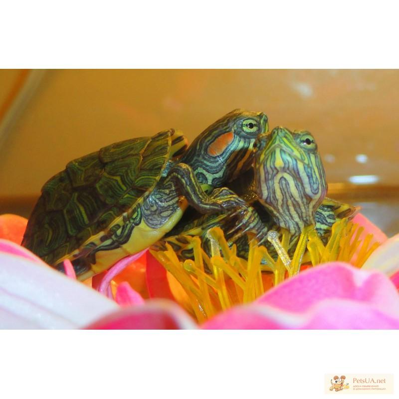 Фото 2/3. Красноухие черепахи, аксолотли, тритоны, лягушки! Доставка по Киеву