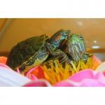 Красноухие черепахи, аксолотли, тритоны, лягушки! Доставка по Киеву