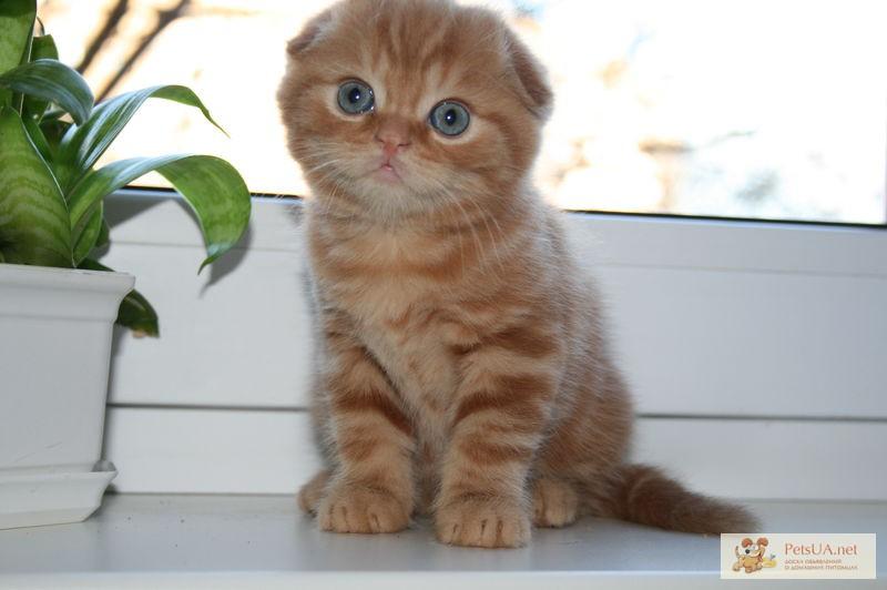 нож спину вислоухие котята редкие окрасы фото дополнительным