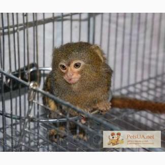 Продается мармазетка, домашняя обезьянка