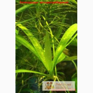 Живые растения в аквариум
