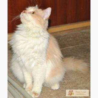 Турецкая ангора, домашняя кошечка в добрые руки