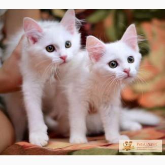 Чудные ангорские котята ждут хозяев