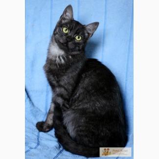 Шера - Очень Красивая кошечка редчайшего окраса черный дым ищет дом! 8 мес